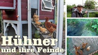 Die Feinde der Hühner: Habicht , Fuchs , Marder , Hund und was man dagegen tun kann