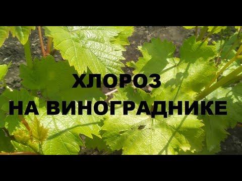 Хлороз винограда и борьба с ним