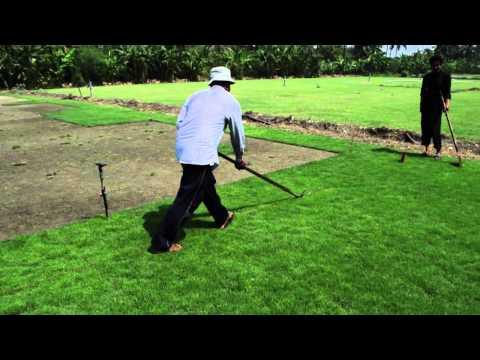 Manilagrass (Zoysia matrella) sod production at Bangkok, 1 month from planting to harvest