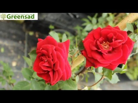 "Роза ""Дон Жуан"" - видео-обзор от Greensad"