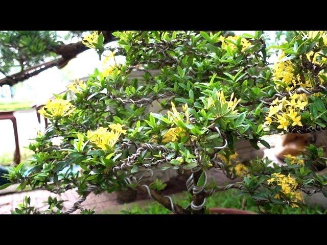 Hỏi giá mai chiếu thủy, sanh, me, đơn ta, những cây vừa tiền - Price of bonsai tree