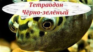 Тетраодон Чёрно-зелёный в аквариуме. Содержание, совместимость, размножение, чем кормить.
