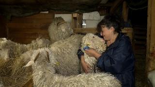 Elle file le parfait amour avec ses chèvres - Météo à la carte