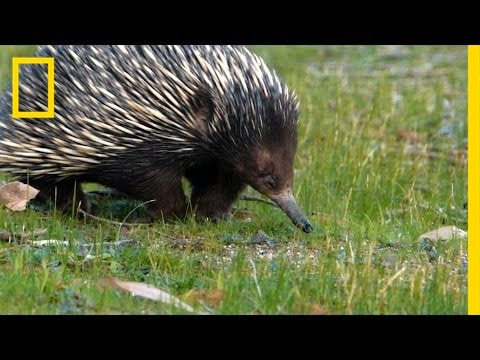 Prickly Love: Echidnas Caught Mating | National Geographic