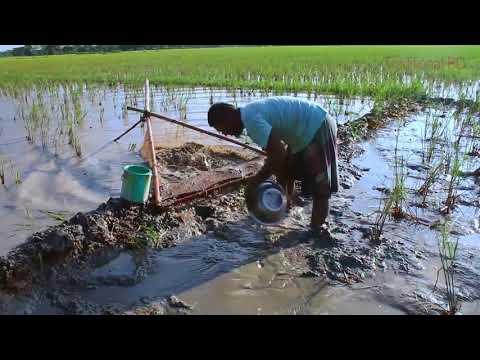 catching small fish from mud water rice fields   rural life