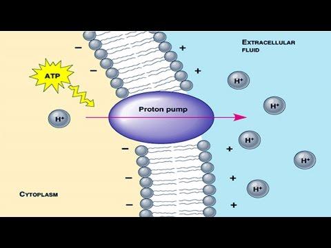 Proton pump.