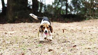 Run Beagles Run (benson's Kennel)