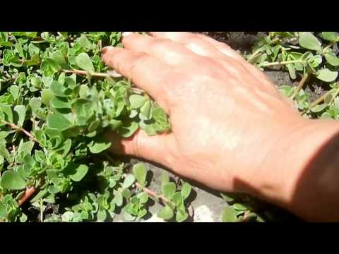 Purslane! Great for Kitchen Use and Recipes! Grows Wild in the Garden!