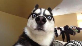 видео Приучение собаки не бояться громких звуков (грохота выстрелов и т