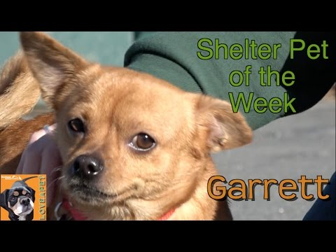 Rescue Chihuahua With Curly Tail Needs a Home