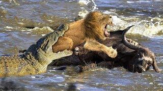 ワニの領土でライオン狩猟バッファロー - ワニライオンズと激しく論争の...
