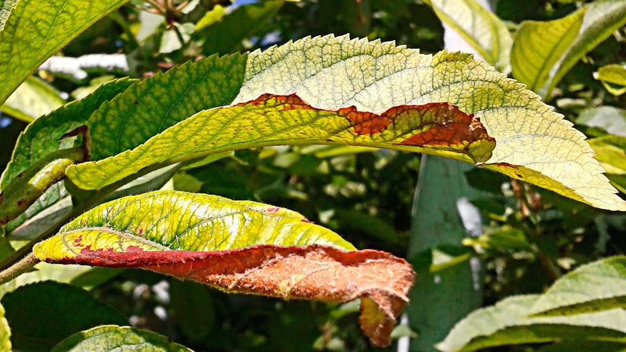 Хлороз листьев - лечение и профилактика