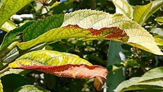 видео Коричневые пятна на листьях каштана - причина. Лечение каштана от минирующей моли и вредителей.