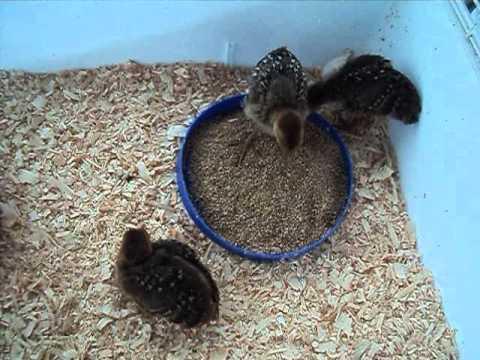 3 Golden Pheasant & 1 snow white Button Quail chicks - YouTube