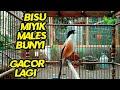 Pancingan Untuk Cendet Bisu Miyik Mbagong Males Bunyi Agar Cepat Gacor Lagi  Mp3 - Mp4 Download