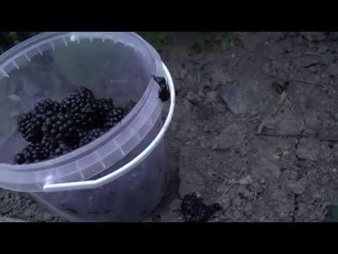 Самая крупная ягода бесшипной ежевики сорта Честер Торнлес