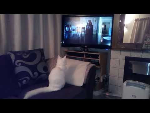 Turkish Angora cat watching a cat movie