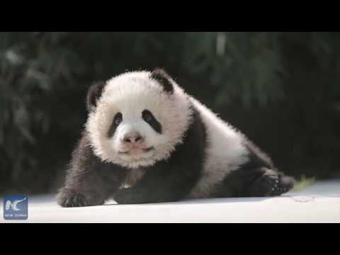 6-month-old panda cubs to meet the public in Shanghai
