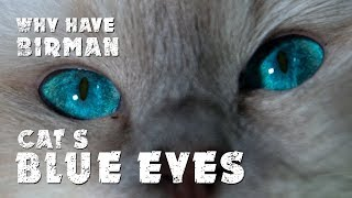 Why have Birman cats blue eyes | Awesome cats | Cat's diary