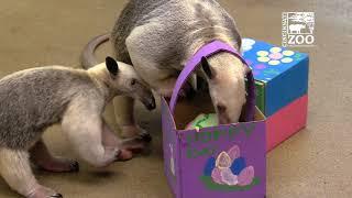 Tamandua Pup Mani and Mom get Easter Treats - Cincinnati Zoo