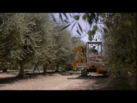 New machines help California's olive industry