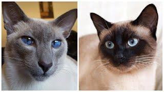 12 Interesting Siamese Cat Facts