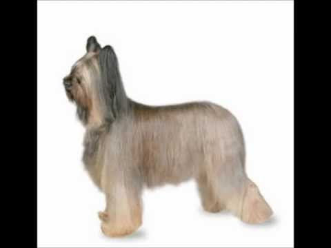 Briard ~ Puppies for Sale, by Pets4You.com