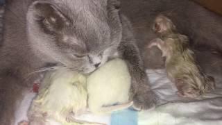 Роды шотландской кошки. Все в Папу кота,а в маму Кису ни одного