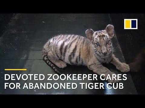 Devoted zookeeper in China cares for abandoned tiger cub