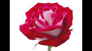 Cultivo da Rosa Avalanche Sem Espinhos