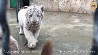 Тигрёнок решил искупаться. Тайган. Tiger decided to swim. Taigan