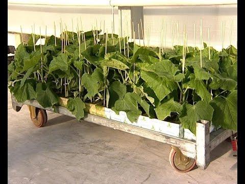 Первый урожай огурцов соберут к 8 марта