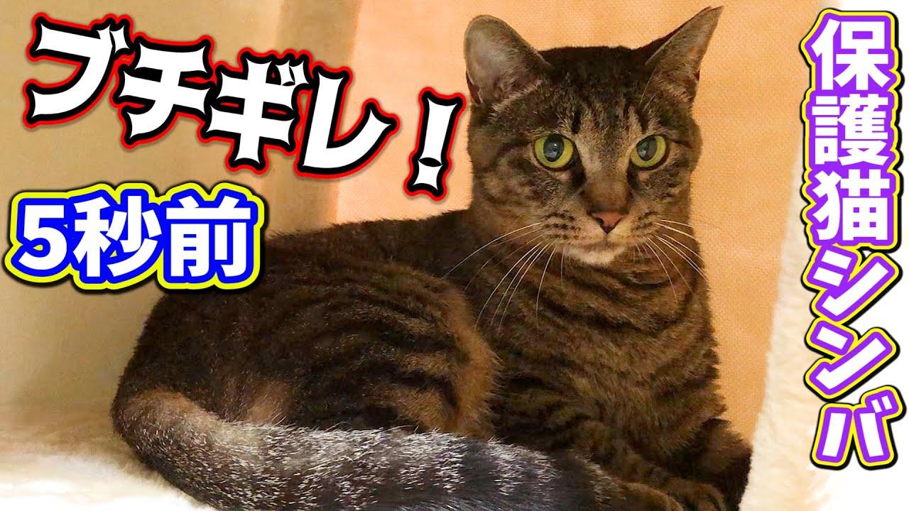 保護猫シンバが可愛くて近付き過ぎて怒られる旦那さんw