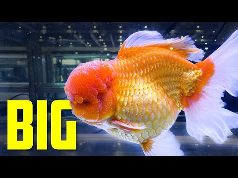 Goldfish World Championship CIPS 2019 - Aquarium Co-Op