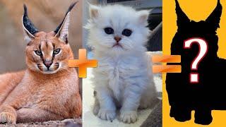 Самые необычные гибриды диких и домашних кошек: ТОП-5