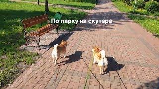По парку на скутере с двумя сиба ину. Юми и Буши собаки шиба-ину