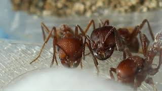 Pogonomyrmex occidentalis (western harvester ant) Introduction