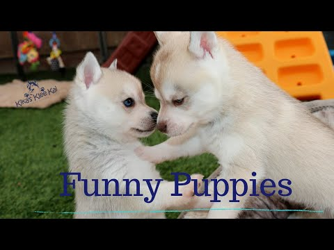 ALASKAN KLEE KAI FUNNY MINI HUSKY DOG VIDEOS