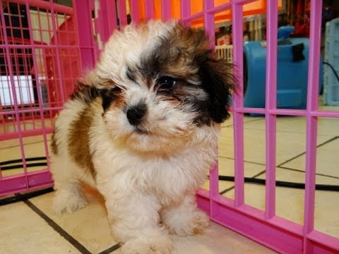 Teddy Bear Puppies Dogs For Sale In Birmingham Alabama Al