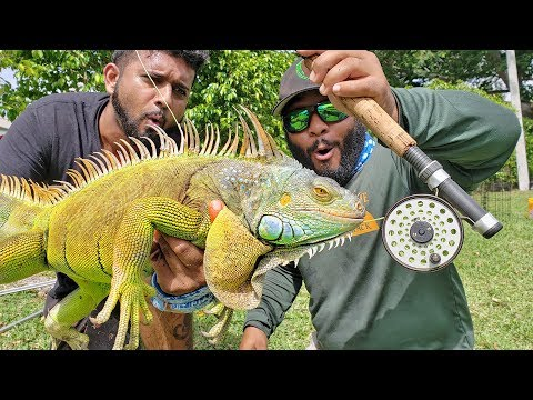 Fly Fishing for Giant Iguanas