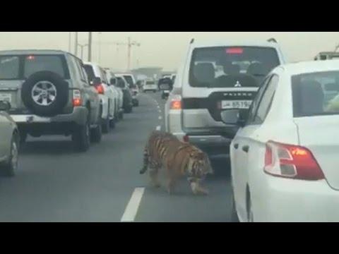 Tiger gets loose on freeway in Qatar