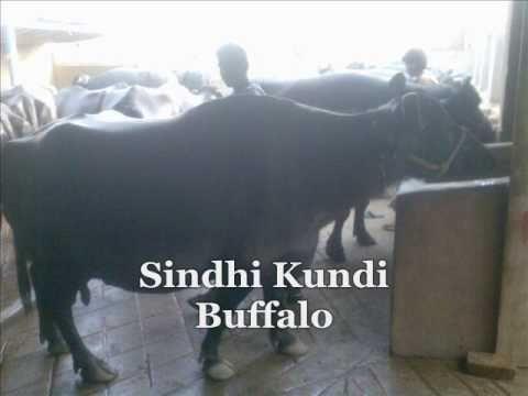 05 Breed of Livestok in Sindh pakistan
