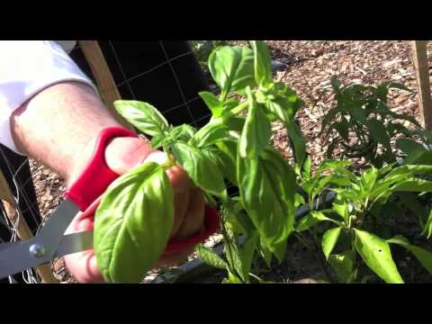 Campus Grown Basil