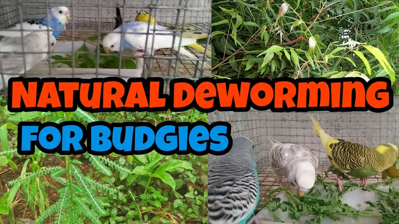 How to deworming the budgies in தமிழ்