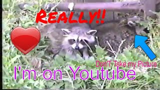 How to get close to a Raccoon
