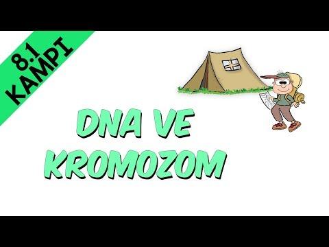 DNA ve Kromozom - 8.Sınıf Fen Bilimleri