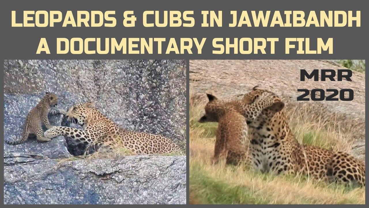 Leopard And Cubs In Natural Habitat Of Jawaibandh | My Rode Reel 2020 | A Documentary Short Film