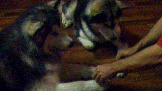 Alaskan Malamute - Twilight & Bourbon doing the