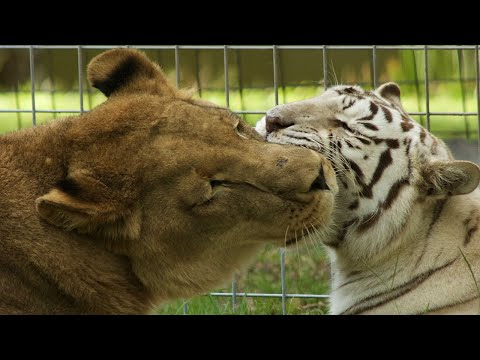 Lion + White Tiger = True Love