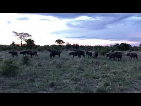 Cape Buffalo, Hwange National Park, Zimbabwe